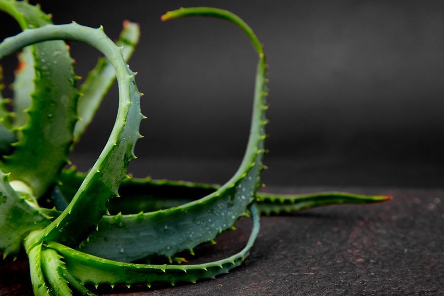 Aloe Vera ist eine gute Pflanze für das Schlafzimmer